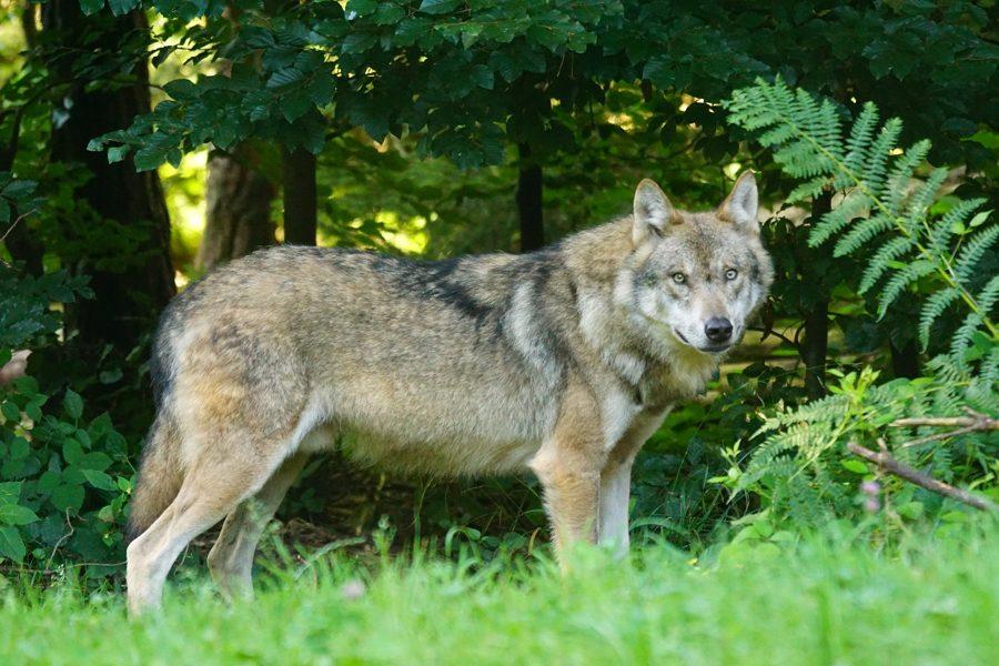 wolf-1583200_900